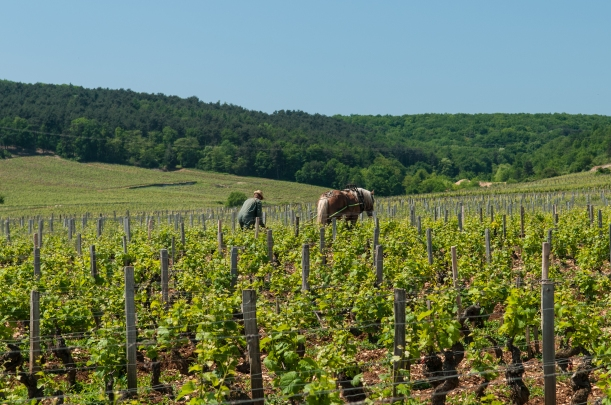 A_vineyard_worker_manually_tills_the_soil_near_Vosne-Romanée_in_Burgundy_(7309839432)